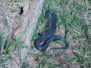 Black snake basking in the sun