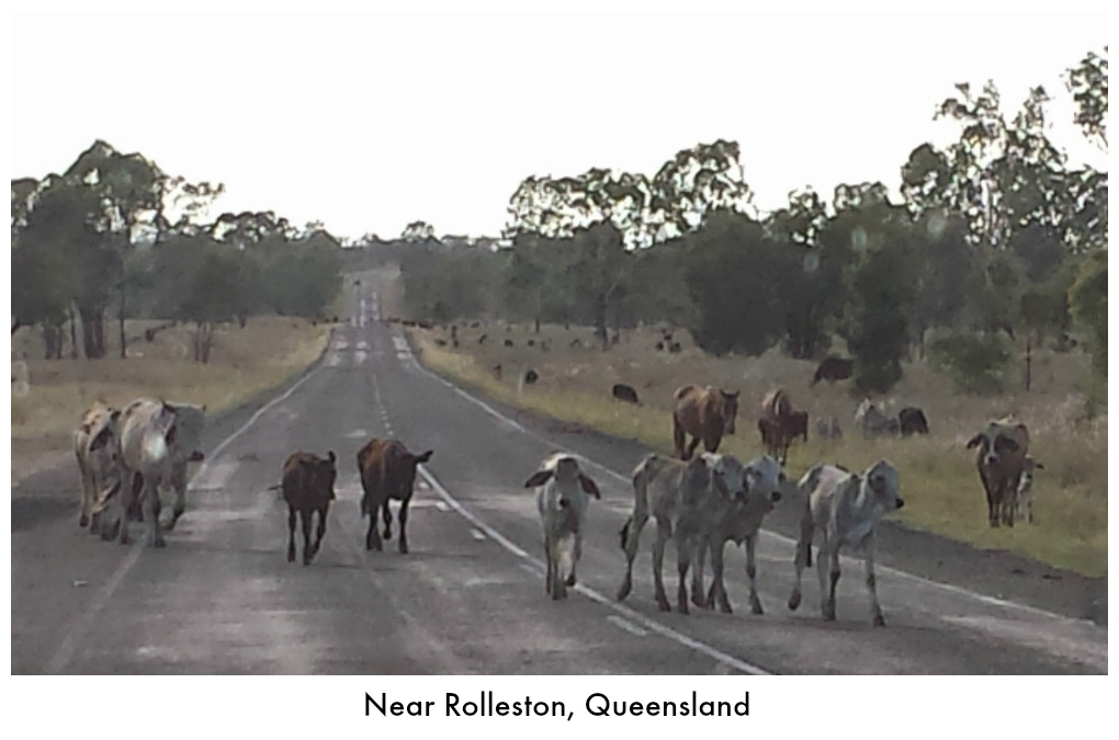 Cattle near Rolleston, Queensland