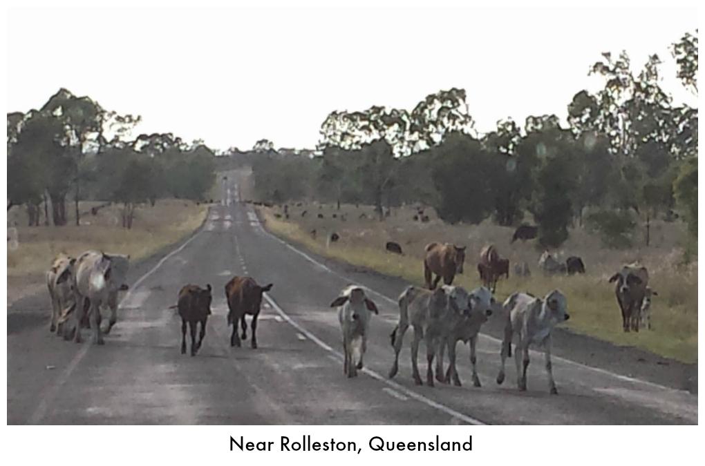 Cattle near Rolleston, Queensland