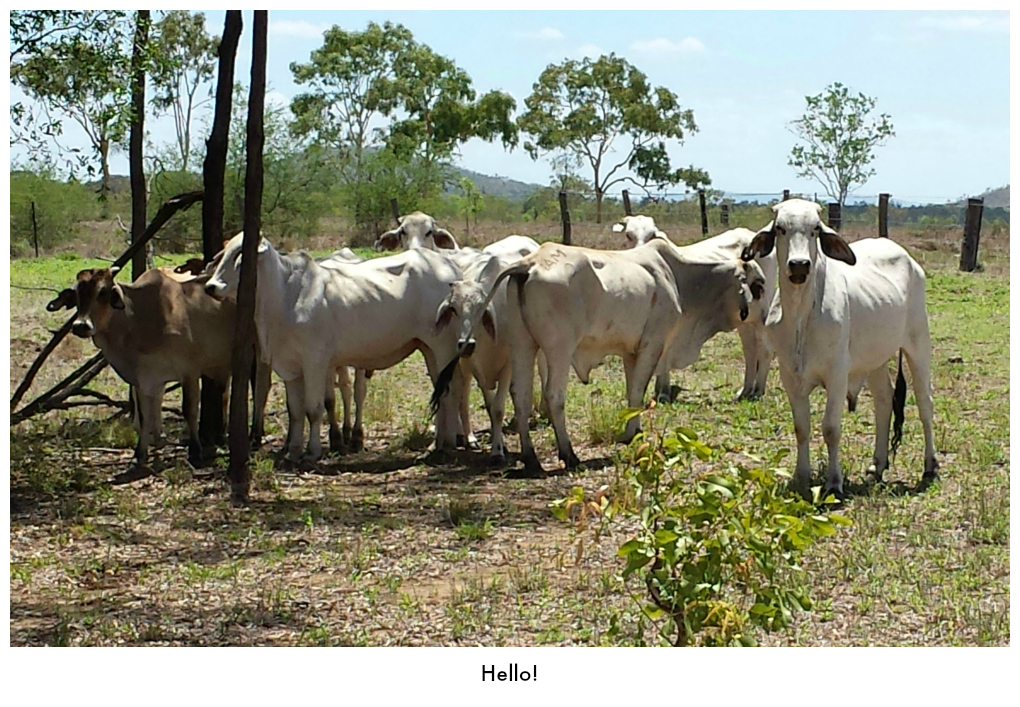 Young cattle in the shade