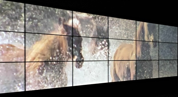 Video still of brumbies at the Spirited exhibition