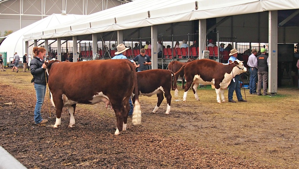 2015 Sydney Royal Easter Show - cattle