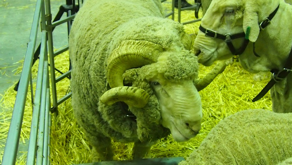 2015 Sydney Royal Easter Show - sheep pavilion