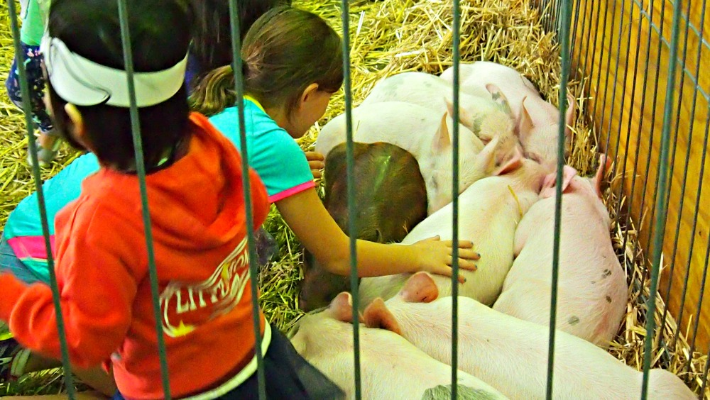 2015 Sydney Royal Easter Show - pigs