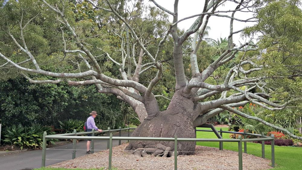 The Royal Botanic Garden's beautiful bottle tree.