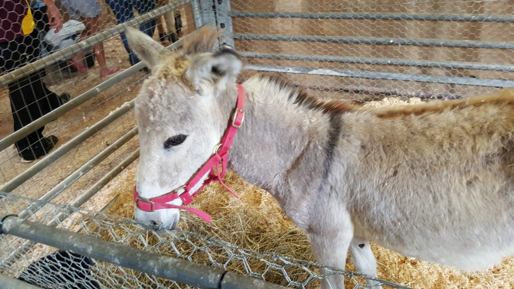 Donkey in the petting zoo at Luddenham Show