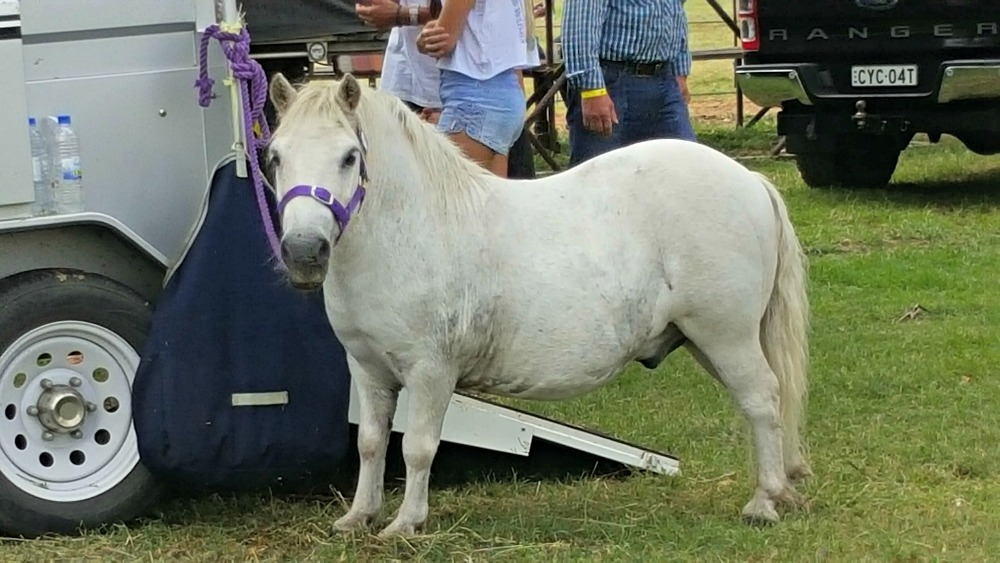 Pony at Luddenham Show