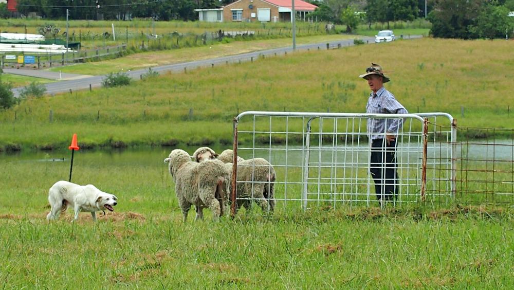 Sheep dog trials at Luddenham Show