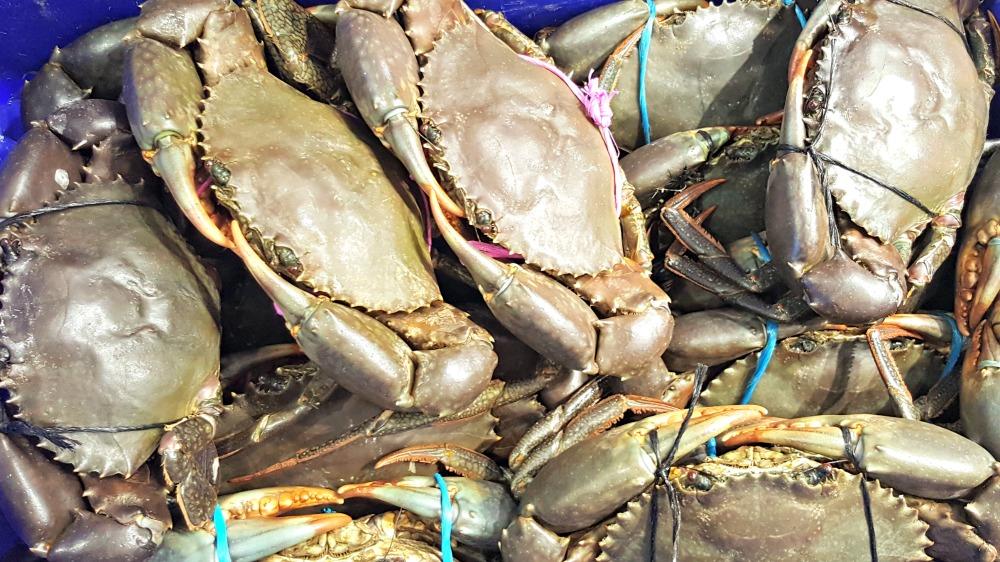 Live mud crabs.