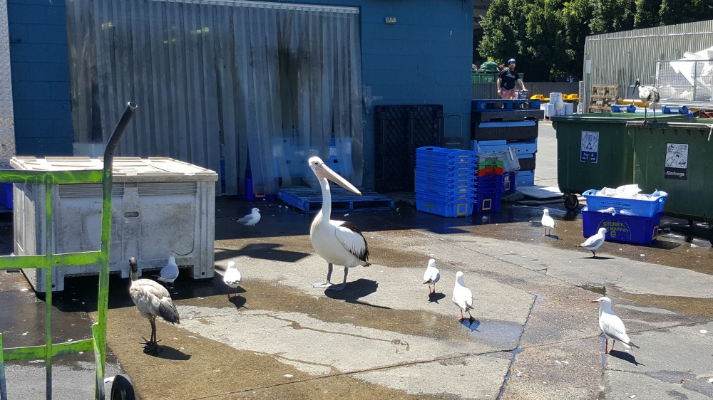 Pelican looking for a feed.