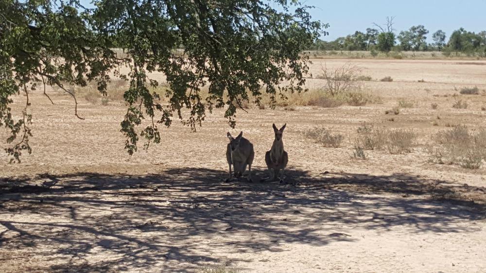 Bladensburg National Park - kangaroos