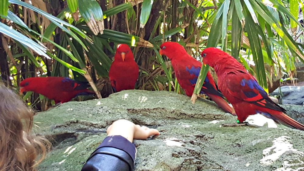Electus parrots
